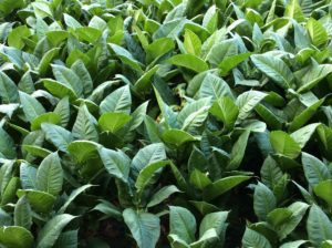 Tobacco Leaf Green