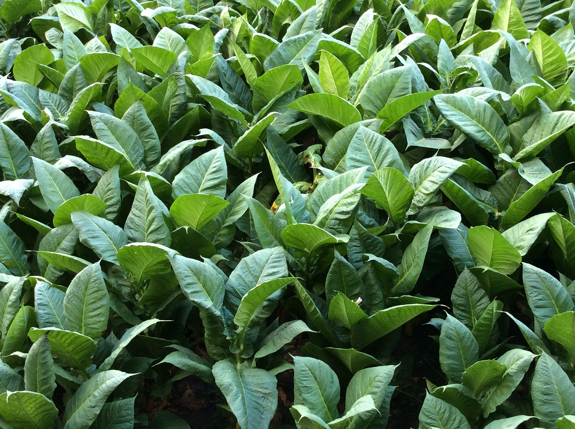 Image of tobacco