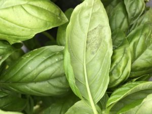 Cover photo for Basil Downy Mildew Found in Western North Carolina - July 22, 2019