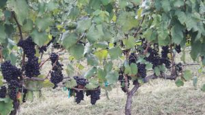 Vinifera grapes. Wilkes Co.