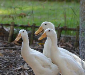 White Pekin Ducks