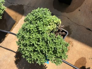 Fusarium wilt of chrysanthemum